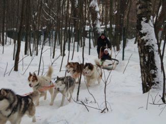 собаки_на_пути_с_хаски