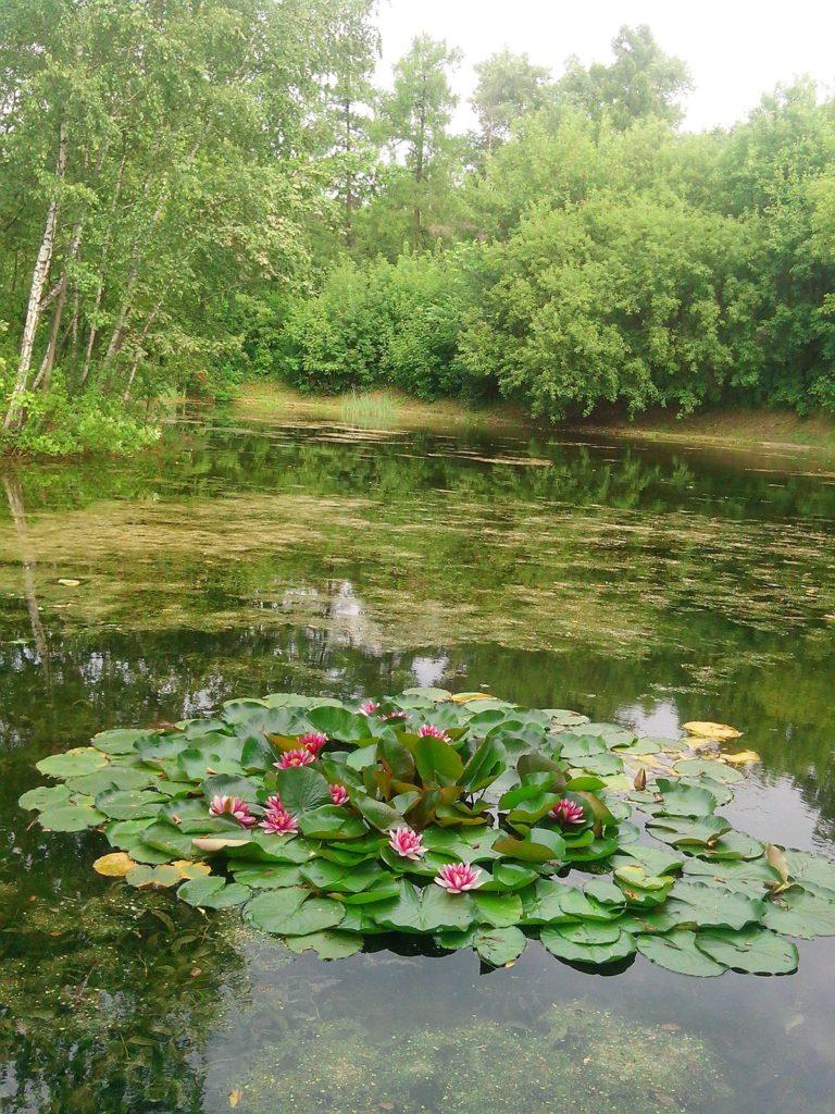 тайны водяных лилий
