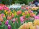Зимняя выставка тюльпанов
