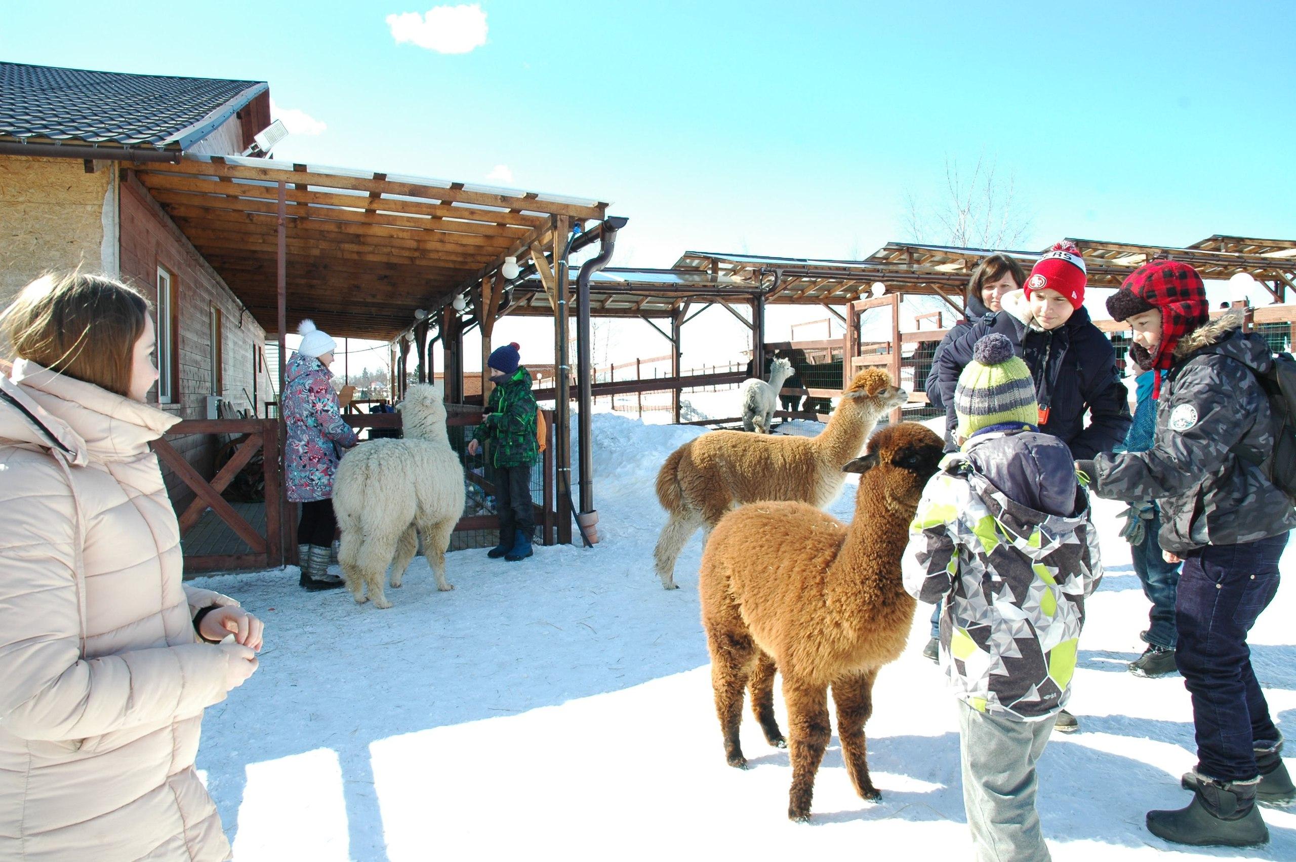 в гости к альпакам