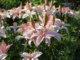 выставка лилий