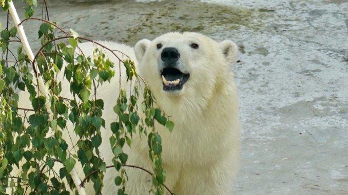 имя для белой медведицы